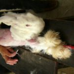 Unspeakable Terror Inside Angora Rabbit Fur Industry