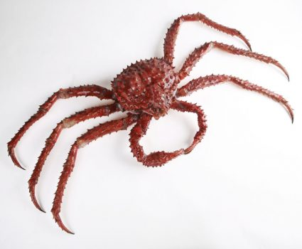 Female Red King Crab Molting Out of its Shell
