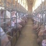 Video Showing Alleged Abuse of Factory Farm Pigs, Bacon Anyone?