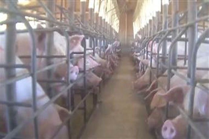 Video Showing Alleged Abuse of Factory Farm Pigs