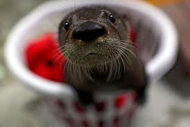 Baby Otter Named Fenway