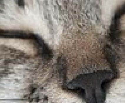Cat Nose Prints as Unique as Human Fingerprints, Noseprint ID