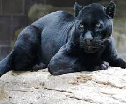 Leopard Named Spirit and an Animal Communicator, Anna Breytenbach