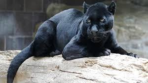 Leopard named Spirit