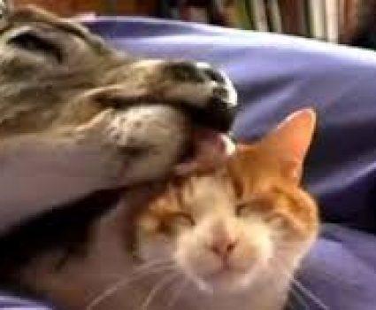 Sweet Love Affair Between Deer and Cat | Unlikely Animal Friendships