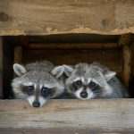 Raising a Wild Animal as a Pet – 5 REASONS Why You Shouldn't