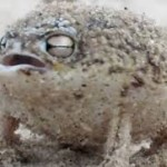 Hear the Mighty Roar of the DESERT RAIN FROG, World's Cutest Frog Ever