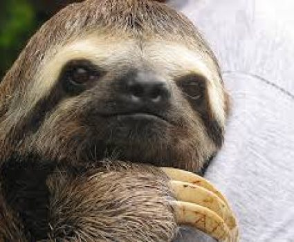 Sloths : Fun Facts About Sloths That Will Make Fall in Love with Them
