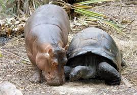 Unusual Animal friends, Hippopotamus and Tortoise