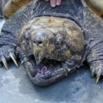 Did You Hear About the Huge Alligator Snapping Turtle Rescue?