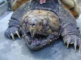 Huge alligator snapping turtle