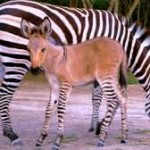 Rare and Beautiful Zonkey Has Arrived!  What is a Zonkey, You Ask?