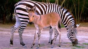 Rare and Beautiful Zonkey, Khumba