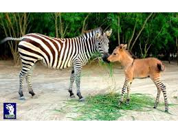 Rare and beautiful zonkey, Khumba, and Rayas