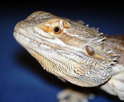 Information About Bearded Dragons, Pagona Genus