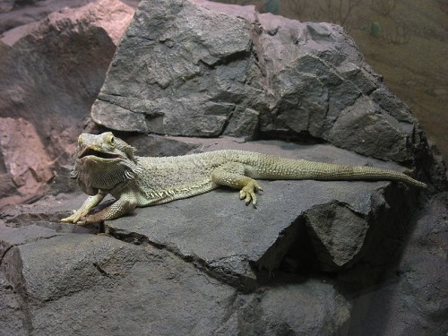 General information about bearded dragons