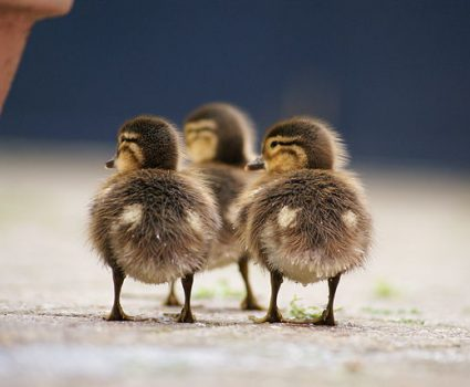 Ducklings Climbing Steps for First Time to be w/ Mother Duck
