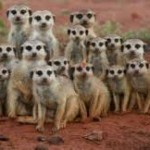 What is There to Know About MEERKATS : Fantastically Unique