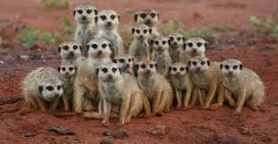 What-is-There-to-Know-About-Meerkats