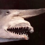 Rare Goblin Shark Caught in Gulf of Mexico 18 Feet Long Released