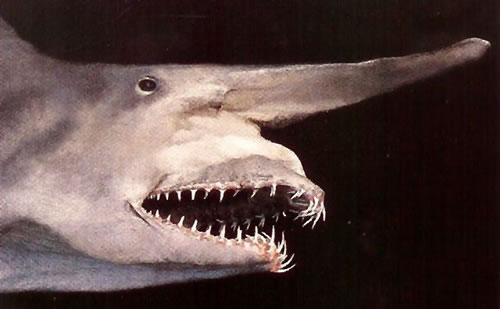 Rare Goblin Shark Caught