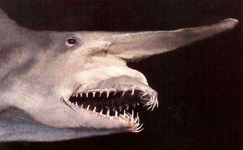 Rare Goblin Shark Caught