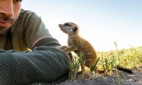 Meerkats Using Photographer to Get a Better View