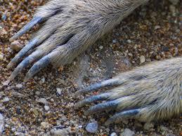 Meerkat Claws