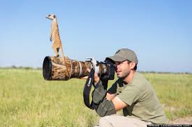 Meerkats Using Photographer to get a better view