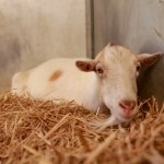 Mr G and Jellybean, Life-Saving Reunion Between Goat & Burro