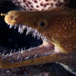 Diver Loses Thumb Feeding Moray Eels, Not for the Squeamish