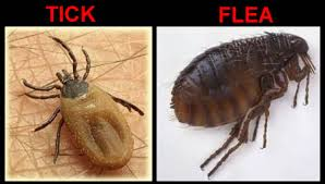 Ticks and Fleas