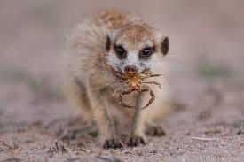 Meerkat Diet