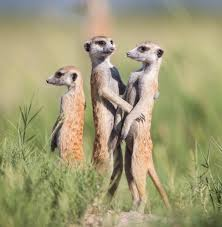What is There to Know About Meerkats