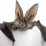 Bat Thought to be Extinct Found Again 120 Years Later