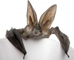 Bat Thought to be Extinct Rediscovered 120 years later