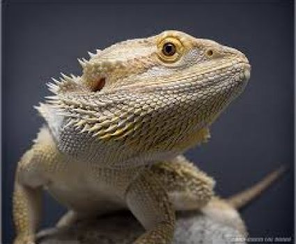 Bearded Dragon Care Sheet | Caring for Your Pet Dragon
