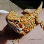 Bearded Dragon FAQ : How to Keep Your Pet Lizard Healthy