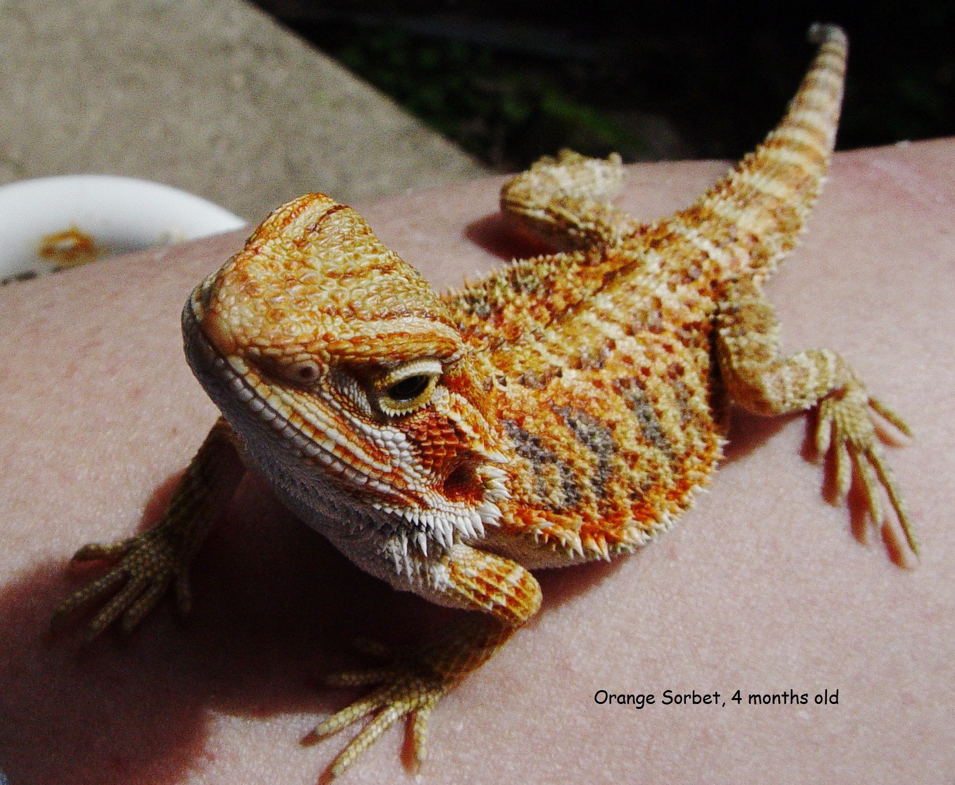 Bearded Dragon FAQ Sheet