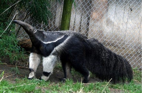 fun facts about Giant Anteaters