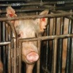 Pigs Suffer and Die at Top Breeder, PETA Secretly Expose