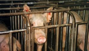 Pigs Suffer and Die at Top Breeder, PETA Secretly Expose