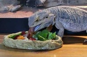 Bearded Dragon Salad