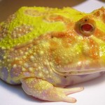 South American Horned Frog, Pacman Frog, Cuteness Alert!