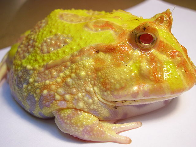 South American Horned Frog