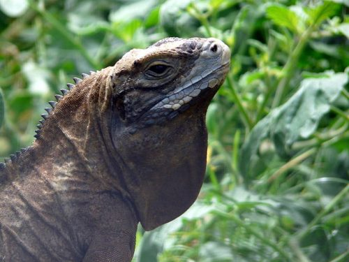 Jamaican Iguana Thought to be Extinct Make a Comeback