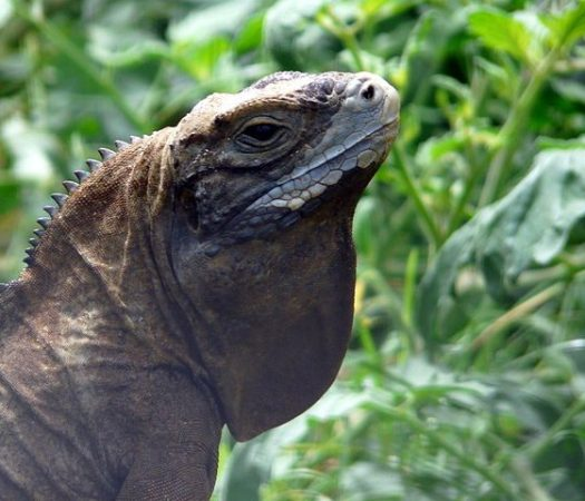 Jamaican Iguana Thought to be Extinct Makes a Comeback