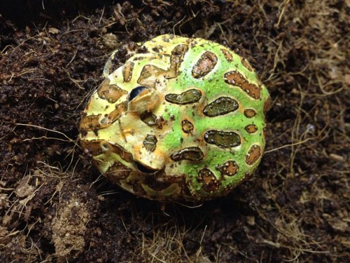 South American Horned Frog, Pacman Frog, Herman, Mary Stewart - https://www.animalbliss.com