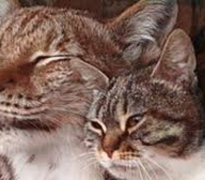 Stray Cat and Lynx meet for first time. Then what happens?  Oh my!