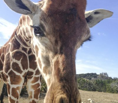 22 Freakish Facts About Giraffes You Will be Glad You Know